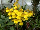 A_and_B_Larsen_orchids_-_Oncidium_Aloha_Dscn3512.jpg