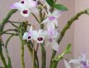 Dendrobium_anosmum_2.JPG