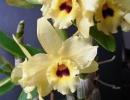 Dendrobium_nobile_hybrid.jpg