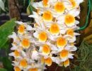 Dendrobium_thyrsiflorum.jpg