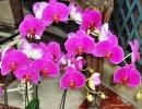 Phalaenopsis.sp01.jpg
