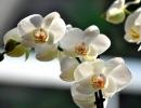 Phalaenopsis_cultivar_2-01-2010_14-16-20.jpg