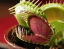 Dionaea_muscipula_trap.jpg